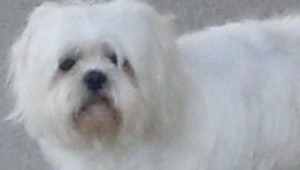 A photo of Bella, the dog that was stolen Sunday from K-9 Kleaners.